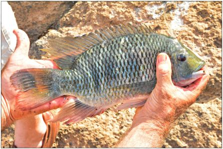 A large red-breasted tilapia caught below the fishway.